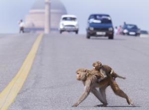 Eles atravessam as ruas melhor que muito Homen Sapiens!